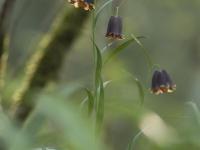 8eme-fritillaire-des-pyrenees
